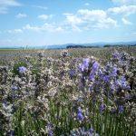 Lavender's fields