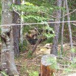 A curios bear